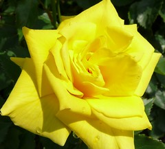 Yellow Rose photo by madbesl
