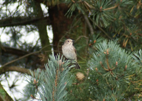 Spotted Flycatcher?