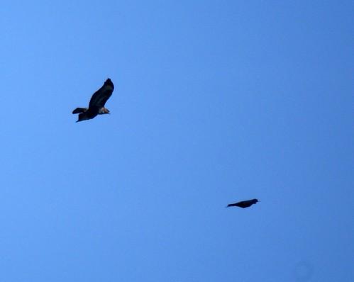 Buzzard chase