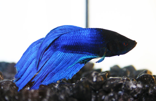 As yet unnamed fighting fish