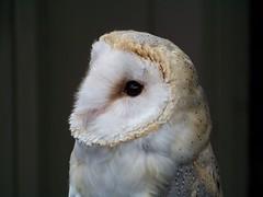 Barn Owl - Avenefica photo by Avia Venefica