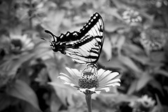 Butterfly photo by JosieA
