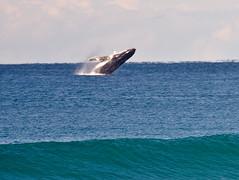 Whales Surfers Paradise_4460 photo by Michael Dawes