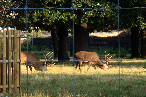 Cerfs dans Greenwich parc