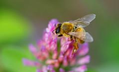 Honey Bee Z:) photo by ♥ Spice (^_^)
