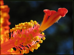 Hibiscus... Colorful and Bokeh photo by R@P = RAPALON (New Logo)