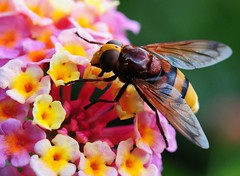 Hoverflies on Lantana photo by Habub3