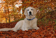 Ditte in the golden leaves photo by Ingrid0804