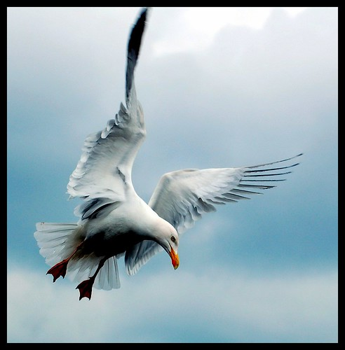 Herring Gull photo by Levels Nature