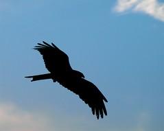 Aguila+Calva