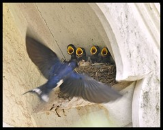 Swallows photo by Chris the lonetraveller