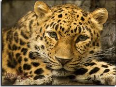 Leopard photo by MikeJonesPhoto