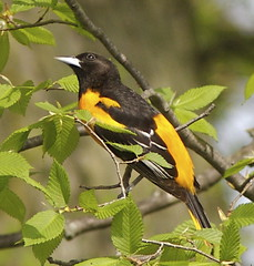 Oriole illustration photo by Henry McLin