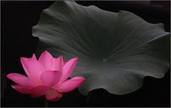 Lotus Flower IMG_6279 photo by Bahman Farzad