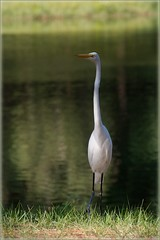 Great Egret (1) photo by Waldek & Lidka