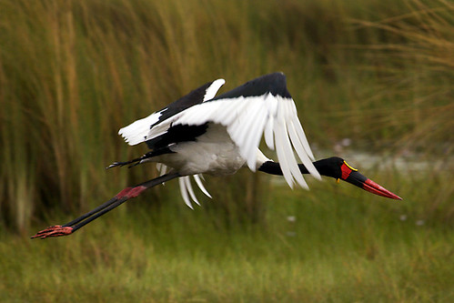 Saddlebilled Storch
