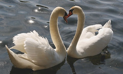 LoveSwans photo by Ivan Naurholm. thanks for more than 300.000 views