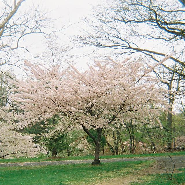 cherry tree branch tattoo. Cherry Blossom Tree, Branch