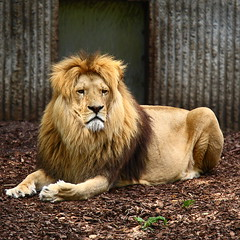 lion photo by Niklas_N