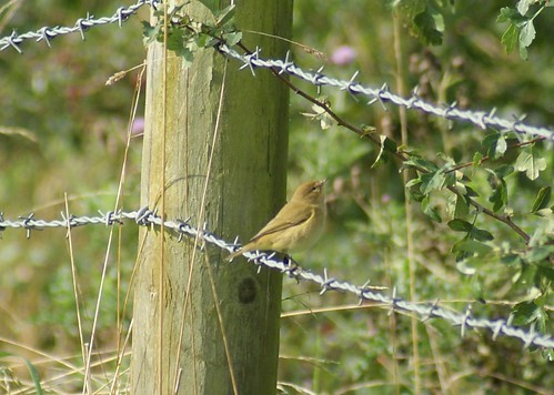 Willow wrabler/ Chiffchaff