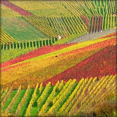 House nestled in Vineyard - Fall Nature, Germany photo by Batikart