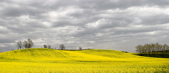 Yellow landscape photo by giuseppedr