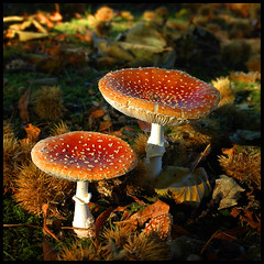 Fly-Agaric photo by Mike Bolam