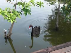 Swan: Black