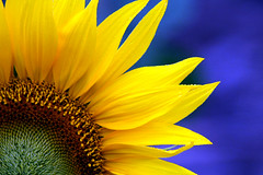 Girassol - Sunflower (Helianthus annuus) photo by claudio.marcio2