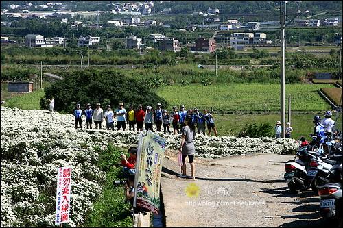 2008銅鑼杭菊01 (16)