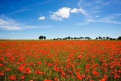 Ile de Re, 'The Green Fields of France'  Poppies photo by chrisps