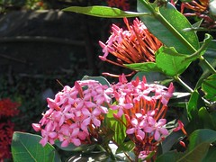 West Indian Jasmine: Pink