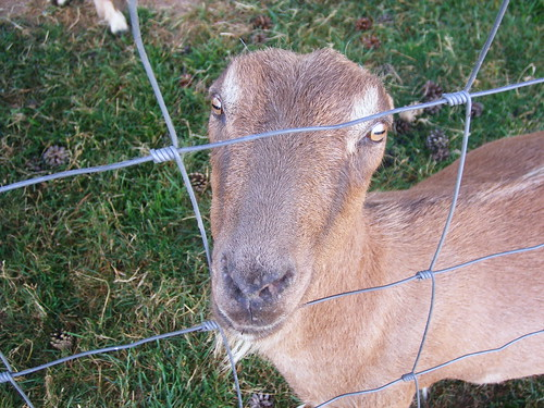 LaMancha goats have weird eyes!