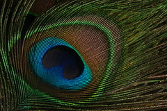 Peacock Feather photo by Kumaravel