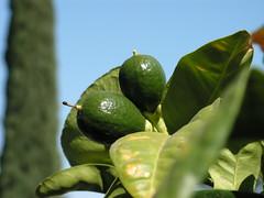 Unripe Lemons