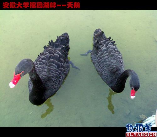 安徽大学榴园湖畔天鹅_01