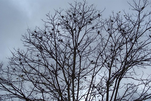 Pied Wagtails flocking