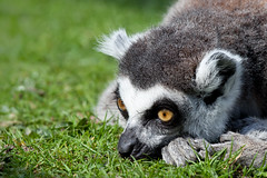 Captivated (Ring Tailed Lemur), Blackpool Zoo photo by flatworldsedge