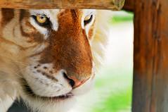 Framed golden tiger photo by Tambako the Jaguar