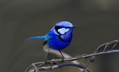 "Splendid Fairy Wren photo by Gregory ""Slobirdr"" Smith"