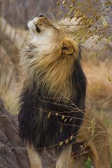 Male Lion photo by pisco
