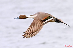 (#169) Most Elegant of Ducks - Northern Pintail duck photo by tinyfishy