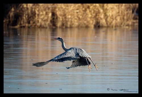 Grey Heron on Ice