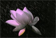 Lotus Flower - lotus-59 photo by Bahman Farzad