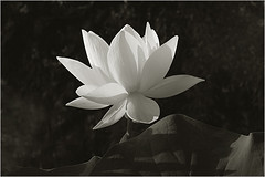 White Lotus Flower in Black-and-white - IMG_1915-bw photo by Bahman Farzad