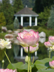 Lotus with Gazebo