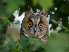 Long-Eared Owl photo by Sweetmart