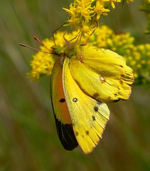 Orange Sulphur photo by jenofdiamond