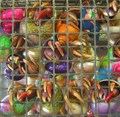 Colorful clingers (Hermit crabs, Coenobita clypeatus) photo by Butterfly Psyche