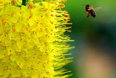 Reaching the heaven (Flower, bee with pollen)  Eremurus stenophyllus photo by natureloving